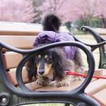 河津桜の公園、再び。