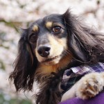 近所の公園で桜の開花状況をチェックしてきたよ★
